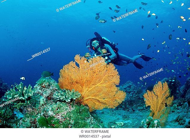 Diver and Gorgonian Fan, Similan Islands Andaman Sea, Thailand