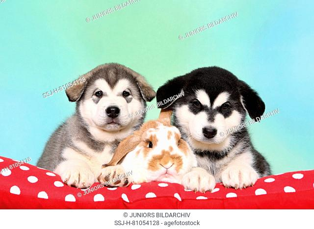 Alaskan Malamute. Two puppies (6 weeks old) and Mini Lop bunny lying next to each other on a red blanket with polka dots