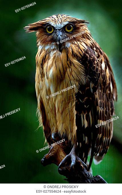 Sunda fishing owl, Ketupa ketupu javanensis