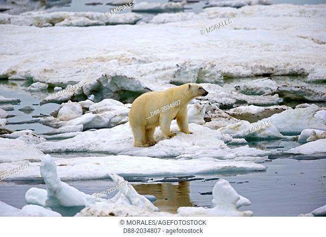 Russia , Chukotka autonomous district , Wrangel island , Polar bear ( Ursus maritimus ) , Adult , female