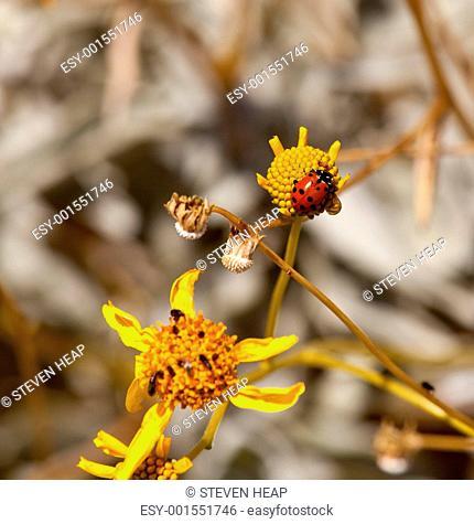 Ladybird and bugs on yellow flower