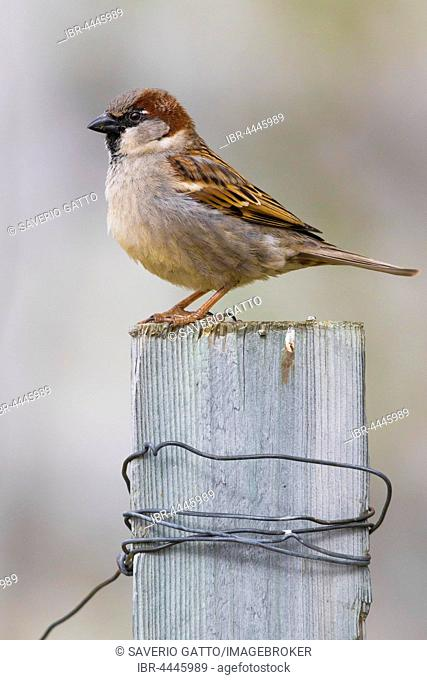 Adult male house sparrow (Passer domesticus), standing on a post, Finnmark, Norway