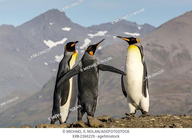 King penguins, Aptenodytes patagonicus, at breeding colony at St. Andrews Bay, South Georgia, UK Overseas Protectorate