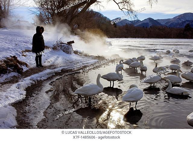 Tourist and Whopper Swans Cygnus cygnus in Lake Kussharo,Akan National Park,Hokkaido,Japan