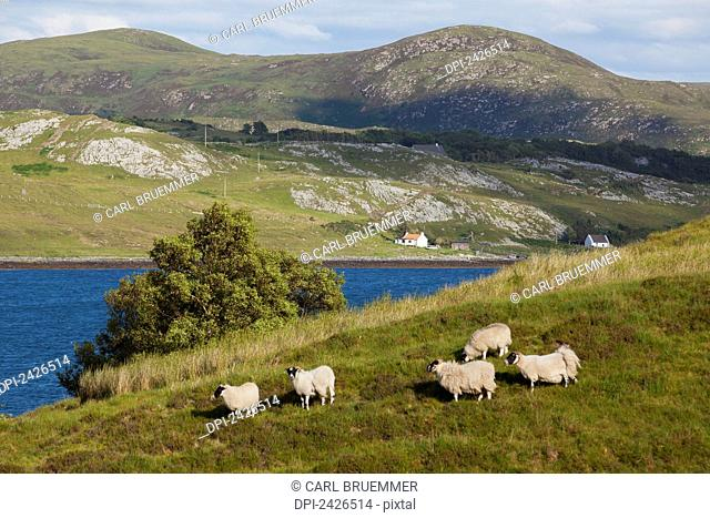 Sheep on a grassy hill, near Torrin; Isle of Skye, Scotland