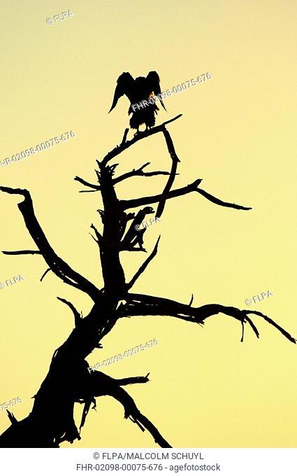 Bateleur Eagle Theratopius ecaudatus stretching wings at dawn, silhouette, Botswana