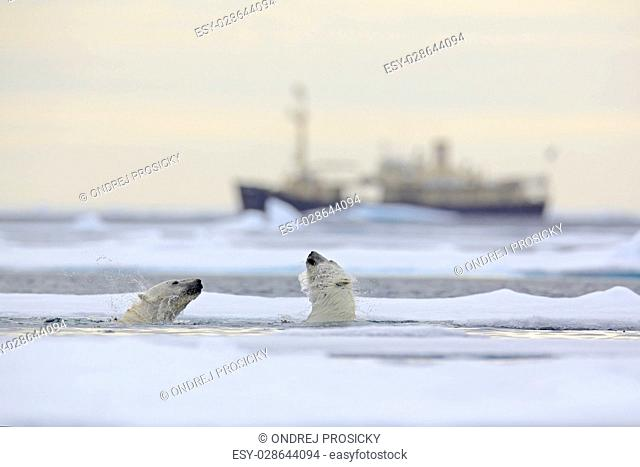Fight of polar bears in water between drift ice with snow