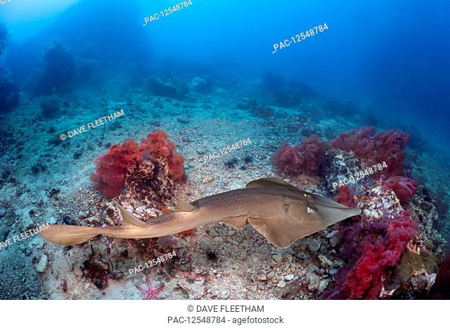 The Common shovelnose ray (Glaucostegus typus) is also known as the giant shovelnose ray, great northern shovelnose or giant guitarfish