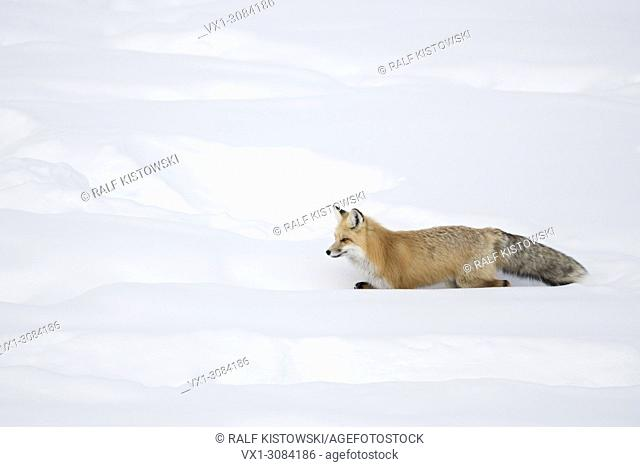 American Red Fox ( Vulpes vulpes fulva ) in winter, running through deep snow, Yellowstone NP, Wyoming, USA