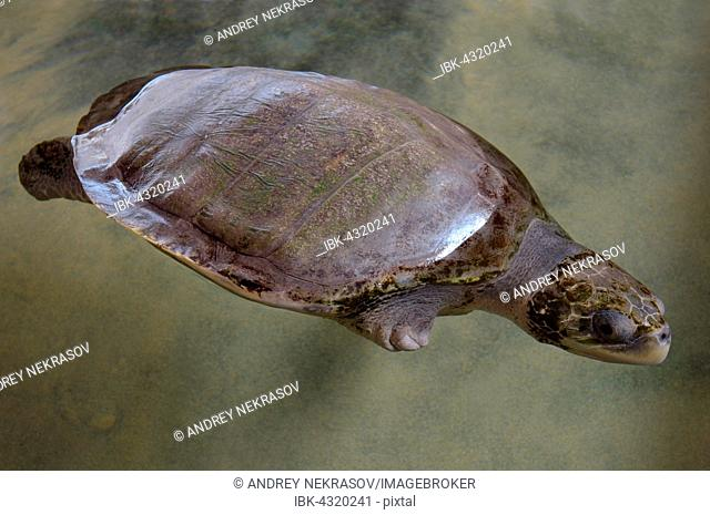Wounded turtle without fin, Pacific Pacific Ridley Sea Turtle, Olive Ridley Sea Turtle or Olive Ridely (Lepidochelys olivacea) swimming in shallow waters