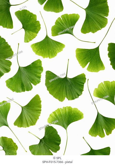 Leaves from the Maidenhair (Ginkgo biloba) tree, studio shot