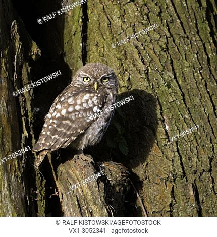 Little Owl ( Athene noctua ), perched in an old willow tree, watching curious, first morning light, sunlight, wildlife, Europe
