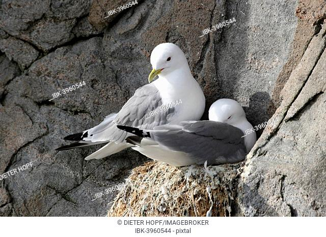 Black-legged kittiwake (Rissa tridactyla) on nest, bird cliffs, Ekkerøy, Varanger, Norway