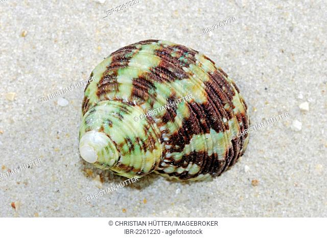 Marbled turban, great green turban (Turbo marmoratus), found in the Indo-Pacific Ocean