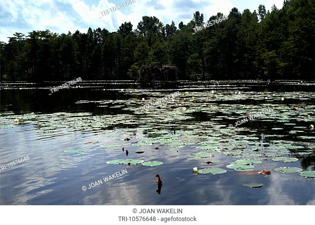 Mississippi Delta USA River With Lily Pads Growing In Water