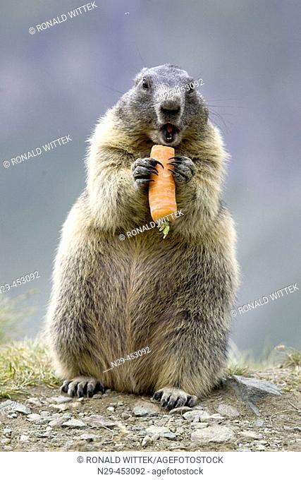 Marmot eating vegetables (Marmota marmota) Nationalpark Hohe Tauern, Austria