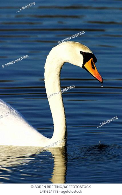 Mute swan (Cygnus olor), a white swan, swimming in lake with wet head