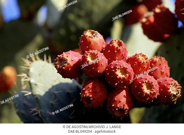 Prickly pears (Opuntia ficus-indica), Enna, Sicily, Italy