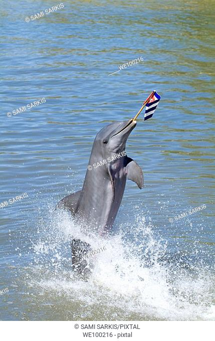 Bottlenose dolphin (tursiops truncatus) holding a flag at the Cienfuegos Delphinarium, Cuba