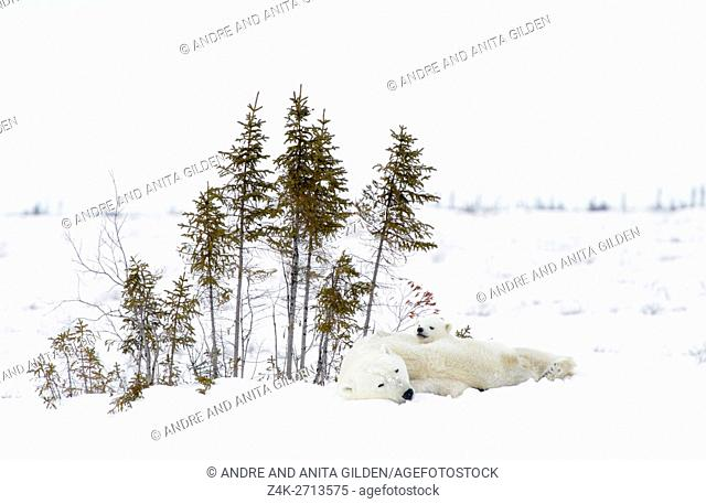 Polar bear mother (Ursus maritimus) with two cubs lying down on tundra, Wapusk National Park, Manitoba, Canada