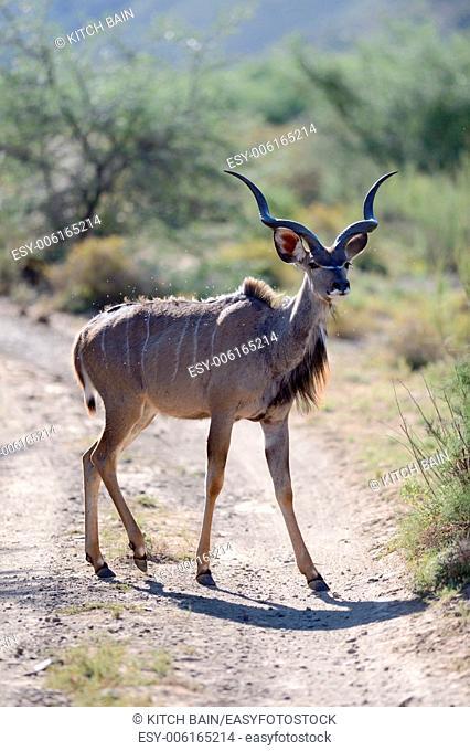 A shot of an Afrivan Kudu in the wild