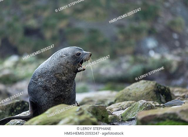 South Atlantic Ocean, South Georgia Island, subantarctic fur seals (Arctocephalus tropicalis)