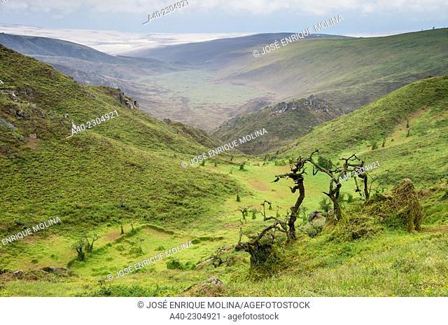 Lachay National Reserve.Huarura.Lima.Perú.Coastal hills ecosystem.Tara treeCaesalpinia Spinosa