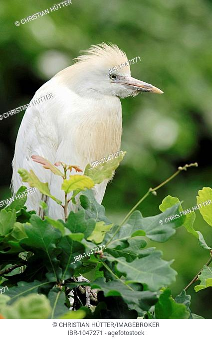 Cattle Egret (Bubulcus ibis), Provence, South France, Europe