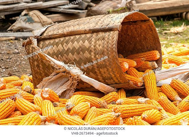 Corn basket after harvest. Vietnam