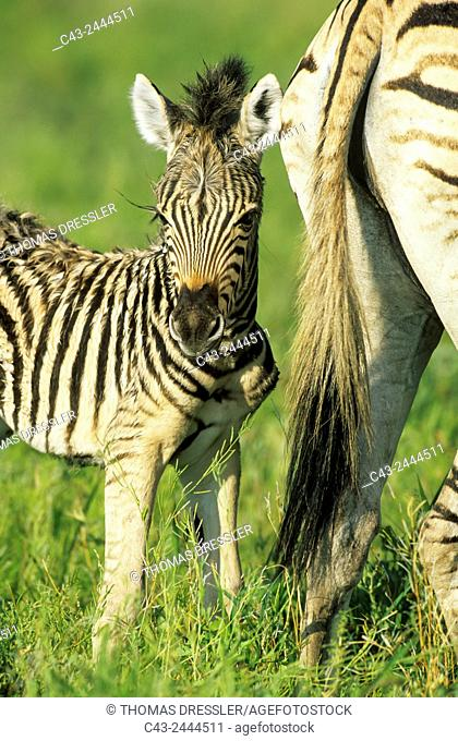 Burchell's Zebra (Equus quagga burchelli) - Mare with foal during the rainy season in green surroundings. Kruger National Park, South Africa