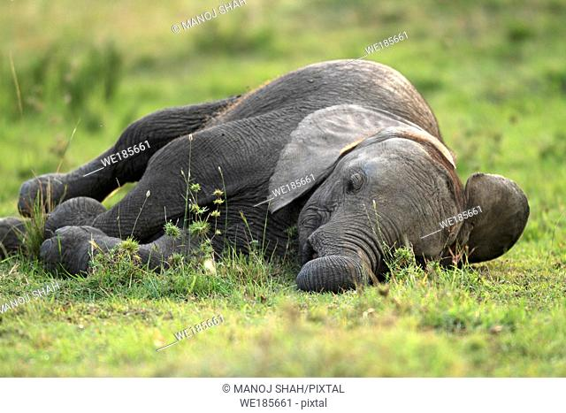 Following mother all day makes the baby tired Thus it will gather as much sleep asit can to get rid of the tiredness