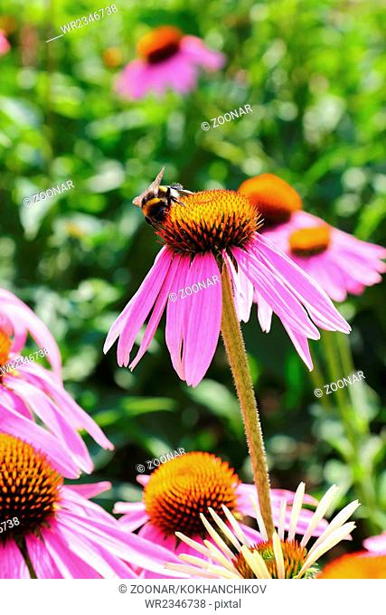 bumblebee on flowers of Echinacea purpurea