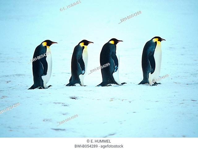 Emperor penguin (Aptenodytes forsteri), walking through the snow one behind the other , Antarctica