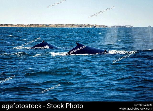 Humpback Whale Family is swinging along the coastline in Western Australia