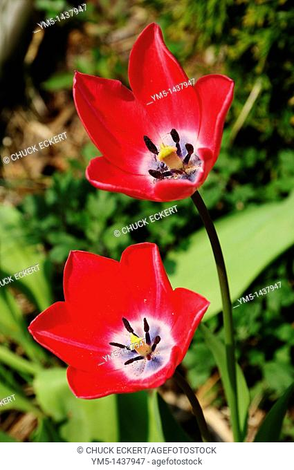 Two red Tulips in springtime