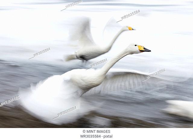 Whooper Swan, Cygnus cygnus, on frozen bay in winter