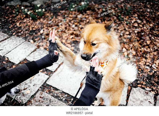 Cropped image of hands touching Eurasier rearing up at park