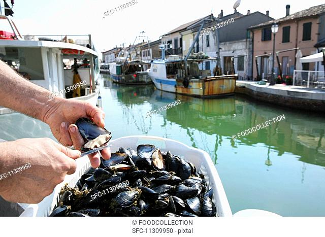 Mussels being opened