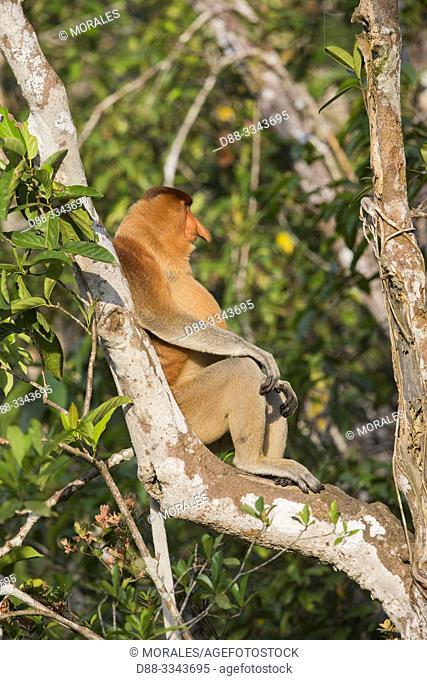 Asie, Indonésie, Bornéo,Kalimantan, Parc national Tanjung Puting, Nasique de Bornéo, dans un arbre / Asia, Indonesia, Borneo, Tanjung Puting National Park