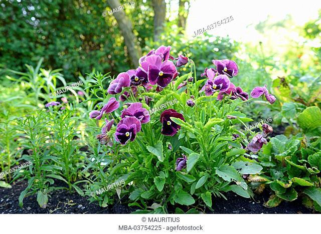Garden Pansy, Viola wittrockiana, blossoms