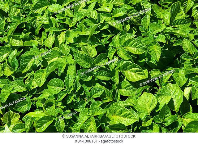 Potato fields, green shoots of potato