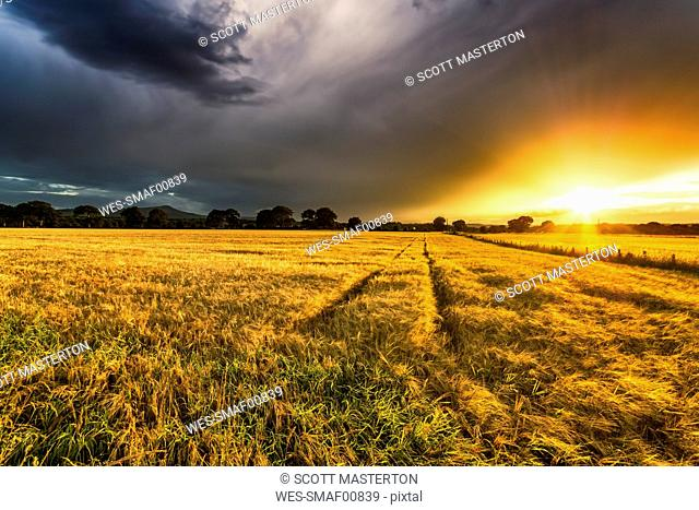UK, Scotland, Fife, field of barley at sunset