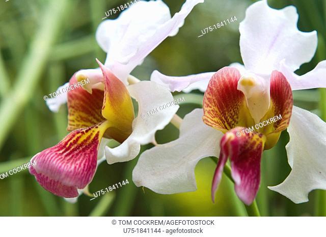 orchid, national orchid garden, botanic gardens, singapore