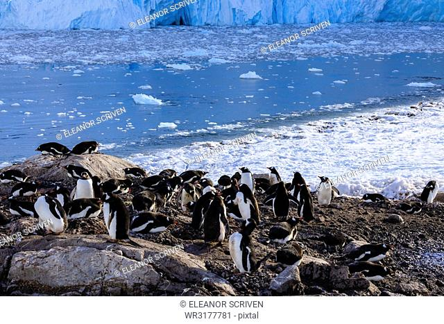 Gentoo penguin (Pygoscelis papua) colony above icy Neko Harbour, early morning, Graham Land, Antarctic Continent, Antarctica, Polar Regions