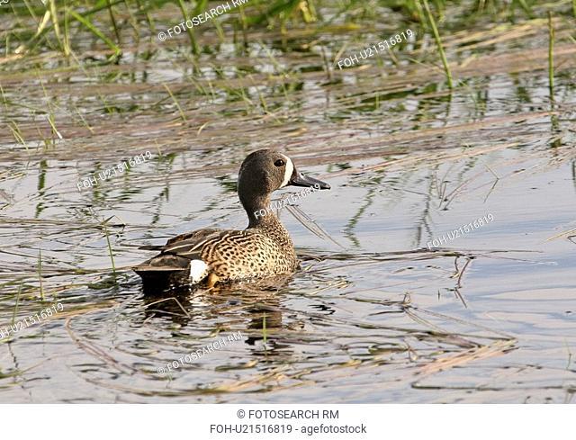 saskatchewan, teal, scenic, slough, duck, bluewinged
