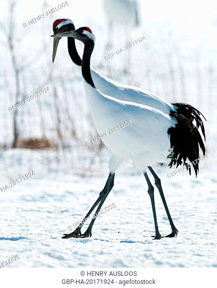 Japanese crane, Red-crowned crane (Grus japonensis), couple, Japan