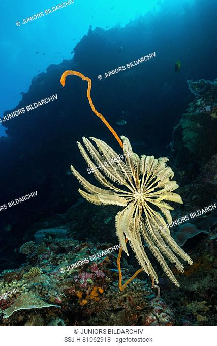 Crinoid on a whip coral.
