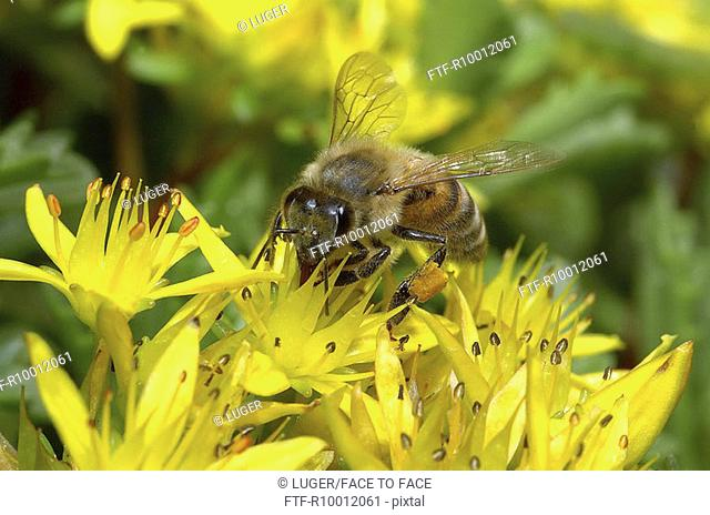 Bee on a yellow blossom