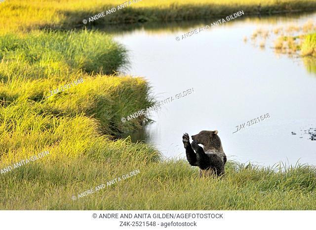Kodiak Bear (Ursus arctos middendorffi) playing in grass at an estuary, Kodiak island, Alaska, USA