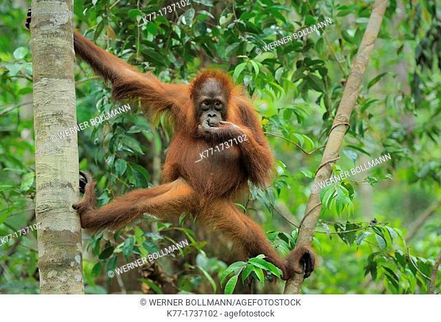 Orang Utan Pongo pygmaeus, Tanjung Puting National Park, Province Kalimantan, Borneo, Indonesia